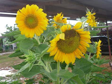 wallpaper bunga lingkaran dalam lingkaran ini kuntuman bunga matahari kembang