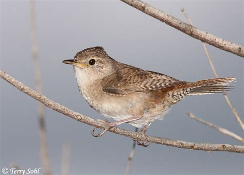 house wren photo photograph picture