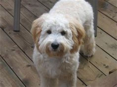 best recomendatuons for haircuts for goldendoodles labradoodle haircut styles goldendoodle grooming styles
