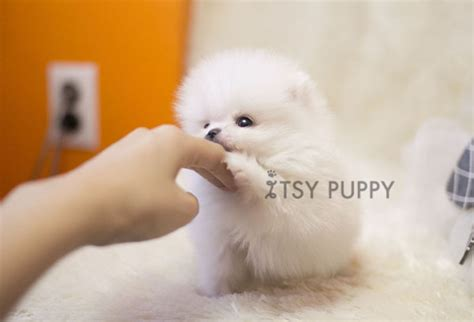 teacup pomeranian adults size white teacup pomeranian grown up www imgkid the image kid has it