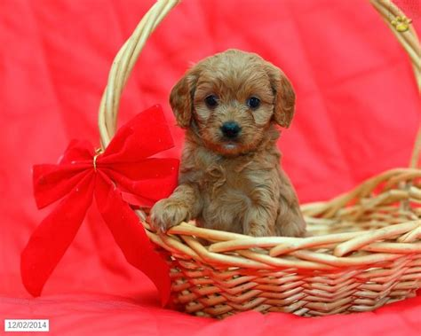 cavapoo puppies for sale missouri 17 best ideas about cavapoo puppies for sale on cavapoo for sale cockapoo
