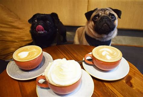 pug cafe tokyo pug lover then you need to get yourself along to guildford s pop up pug cafe