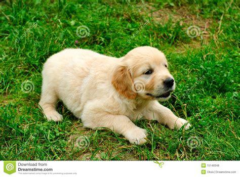 golden retriever grass golden retriever puppy in the grass royalty free stock photos image 15149348