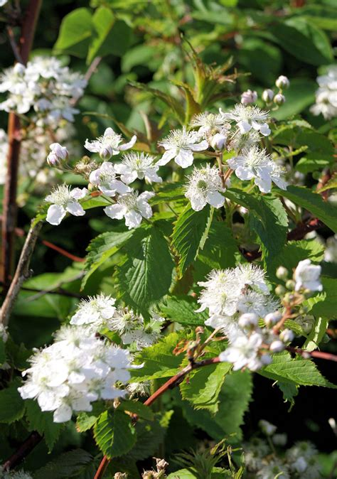 flowering shrubs with white flowers pictures to pin on