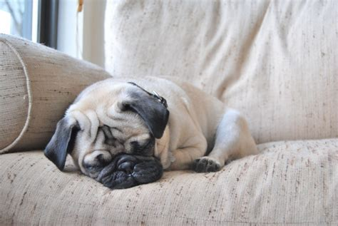 baby pugs sleeping let sleeping pugs lie