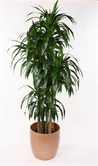 gallery for gt dracaena