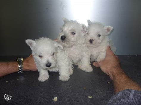 boxer puppies for sale houston tx westie puppy for sale in houston breeds picture