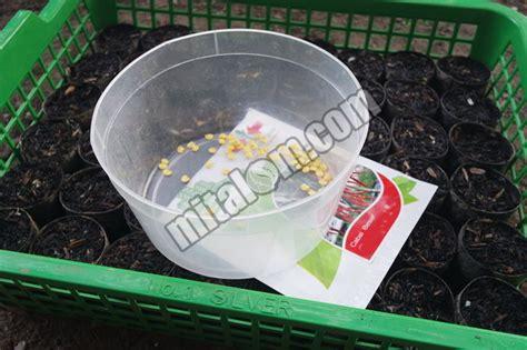 Tray Semai Cabe Rawit 14 tahap cara semai benih bibit cabai hidroponik agar