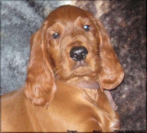 irish setter dogs for sale texas akc irish setter puppies
