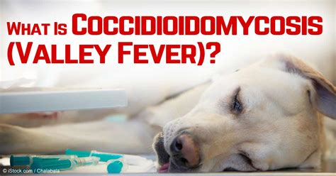 valley fever in dogs coccidioidomycosis worst fungal diseases your pet could get