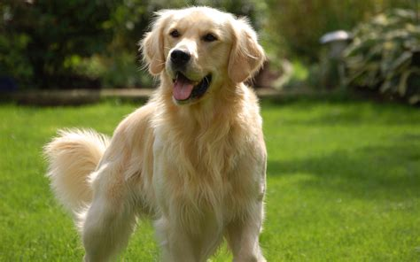 golden retriever character 5 things you should before getting a golden retriever animalso