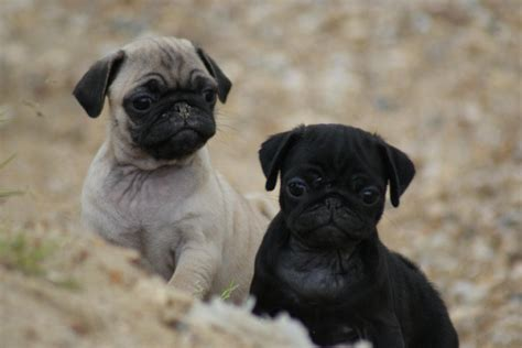 pug noir annonces class 233 es qu 233 bec carlin pug femelles et m 226 les parents sur plac 224 vendre