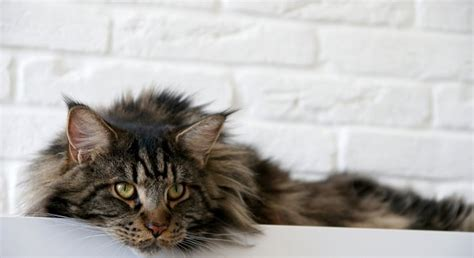 check  health   maine coon maine coon