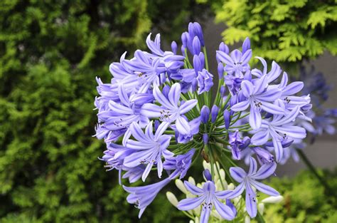 best fertilizer for agapanthus learn about agapanthus care and feeding