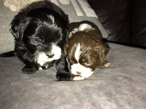 shih tzu puppies for sale in hertfordshire lhasapoo x shih tzu puppies for sale borehamwood hertfordshire pets4homes