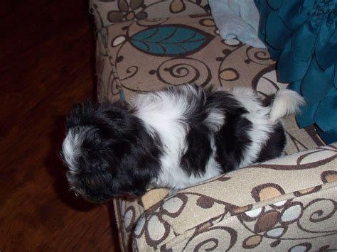 yuppy puppy havanese yuppy puppy havanese havanese puppies for sale