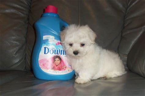 maltese shih tzu poodle puppies information bichon frise maltese poodle shih tzu designer breeds puppy sales blue ribbon