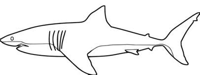 Great White Shark Coloring Pages To Print  Style sketch template