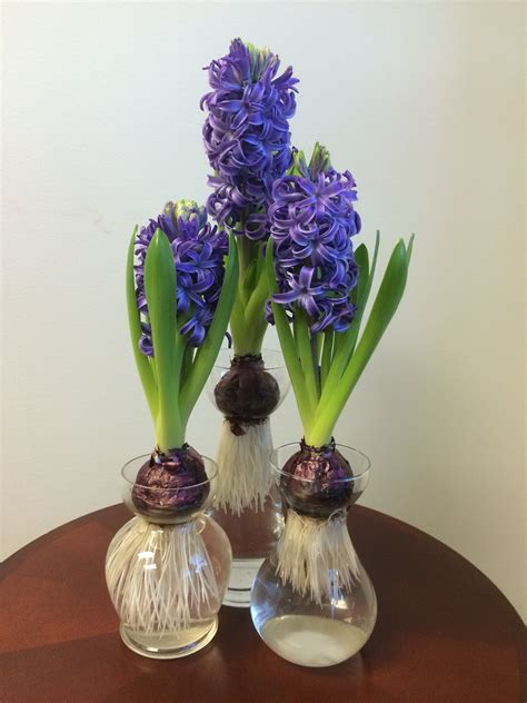 Forcing Hyacinth Bulbs In Vases Forcing Hyacinths Pegplant