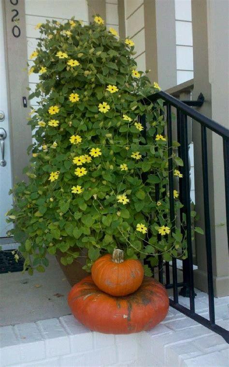 pots for climbing plants 24 best vines for containers climbing plants for pots