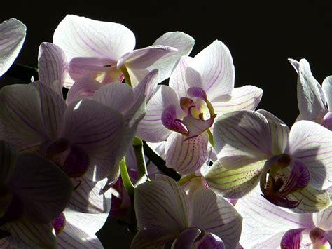 orchidee fiori appassiti come potare le orchidee