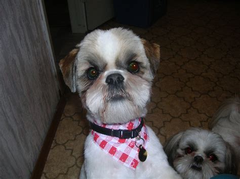 shih tzu bichon haircuts haircuts for shih tzu bichon haircut for bichon shih tzu mix puppies the