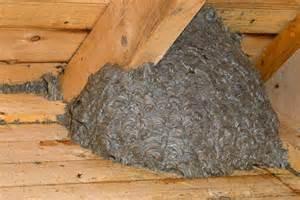wespen im haus wespennest der gemeinen