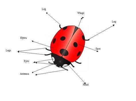 ladybug diagram neat ladybug facts hummingbird s secret chamber