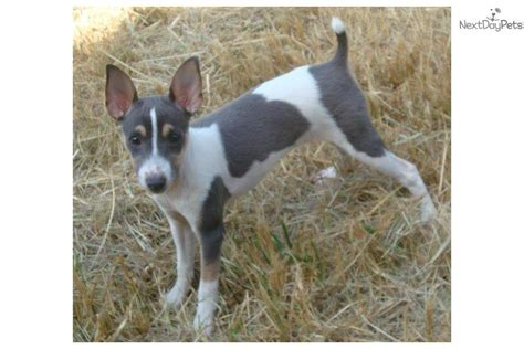 rat terrier puppies for sale rat terrier puppies for sale puppy breeders breeds picture