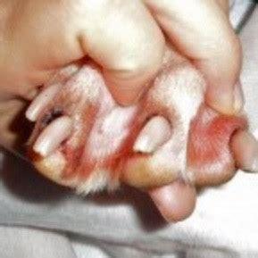 pug dandruff pug health guide pug club of america