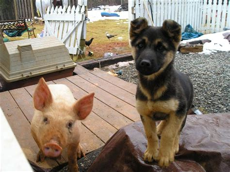 guinea pigs and dogs this pig new on a homestead