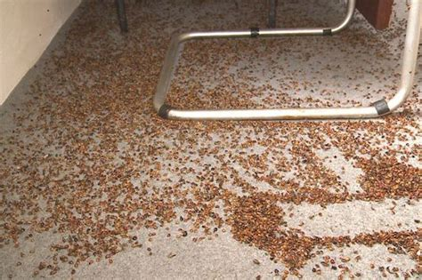 town infested with swarm of ladybugs will completely freak