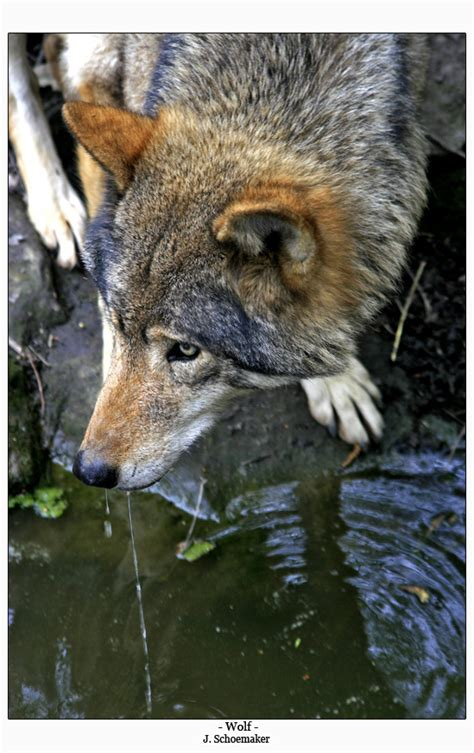 möbel wolf fotos belleza lobos taringa