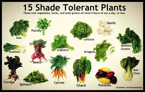 love plants but no sunlight these 15 plants can be your best buddy 15 most shade tolerant plants i love organic gardening