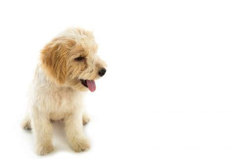 fotos sin fondo blanco cachorro de perro aislado en el fondo blanco descargar