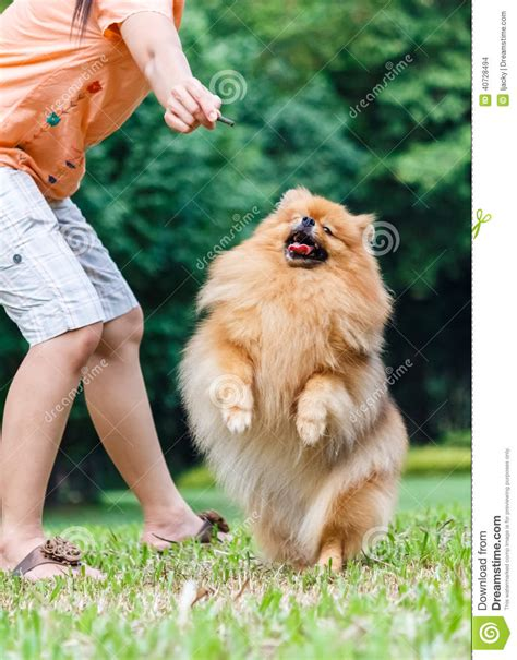pomeranian hind legs pomeranian standing on its hind legs to get a treat stock photo image 40728494