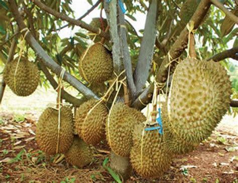 Harga Bibit Durian Musang King Magelang cara menanam dan budidaya durian montong