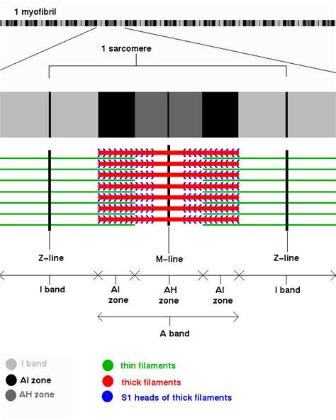 labeled sarcomere diagram sarcomere diagram bands www pixshark images