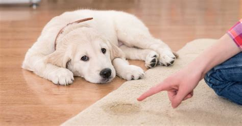 potty a puppy how to potty a puppy the complete guide new owners