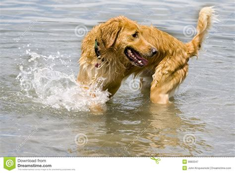 golden retriever in water golden retriever in water royalty free stock photography image 9883347