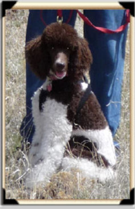 standard poodles with beards poodle with beard recommended standard poodle breeder