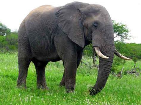 Gajah Lucu ciri contoh hewan herbivora pemakan tumbuhan katakan id