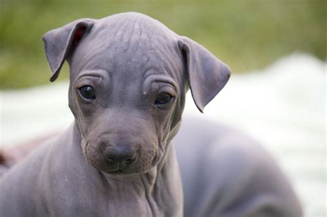 American Hairless Terrier puppy face photo and wallpaper