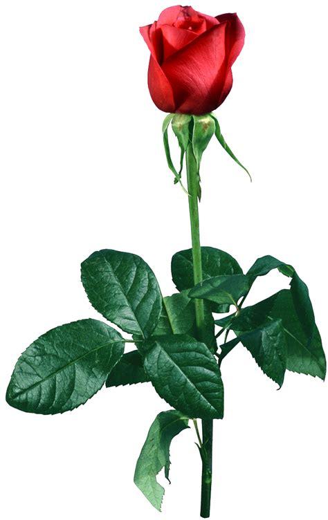 imagenes en png de rosas png transparente