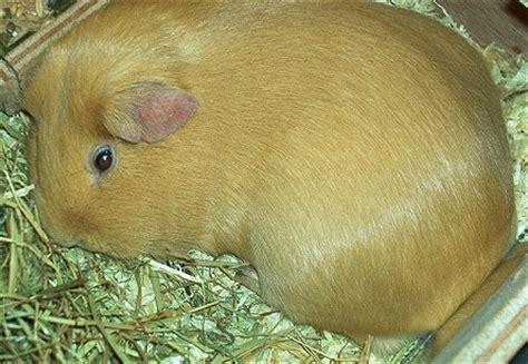 meerschweinchen schlafen bilder meerschweinchen kostenlos f 252 r die homepage