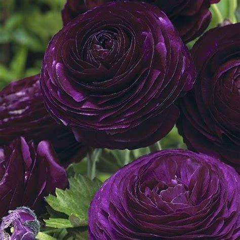 Fleur Violette les plus belles fleurs violettes en beaucoup d images