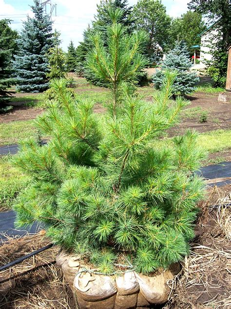 pictures on eastern white pine for sale easy diy