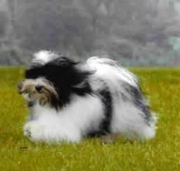 los perritos havanese los perritos havanese