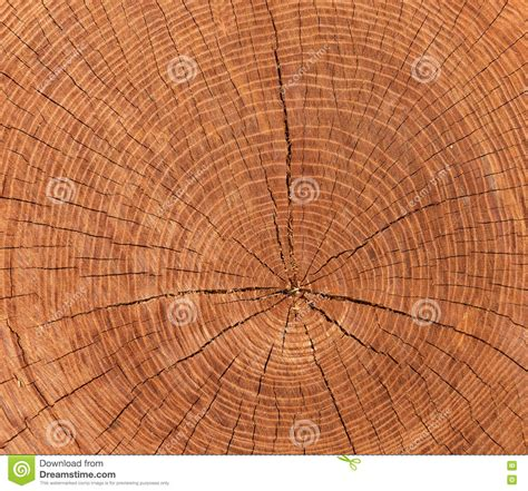 cross sectional cut cross sectional view of a log cut end wood royalty free