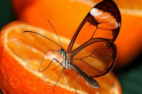 imagenes de mariposas posadas en flores mariposa posada sobre media naranja 77957